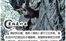 林彩娟:崖柏精油的功效与作用